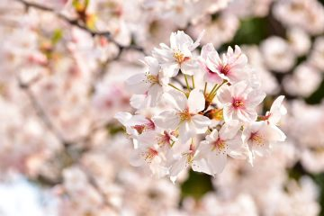 大阪メトロで行ける大阪の桜
